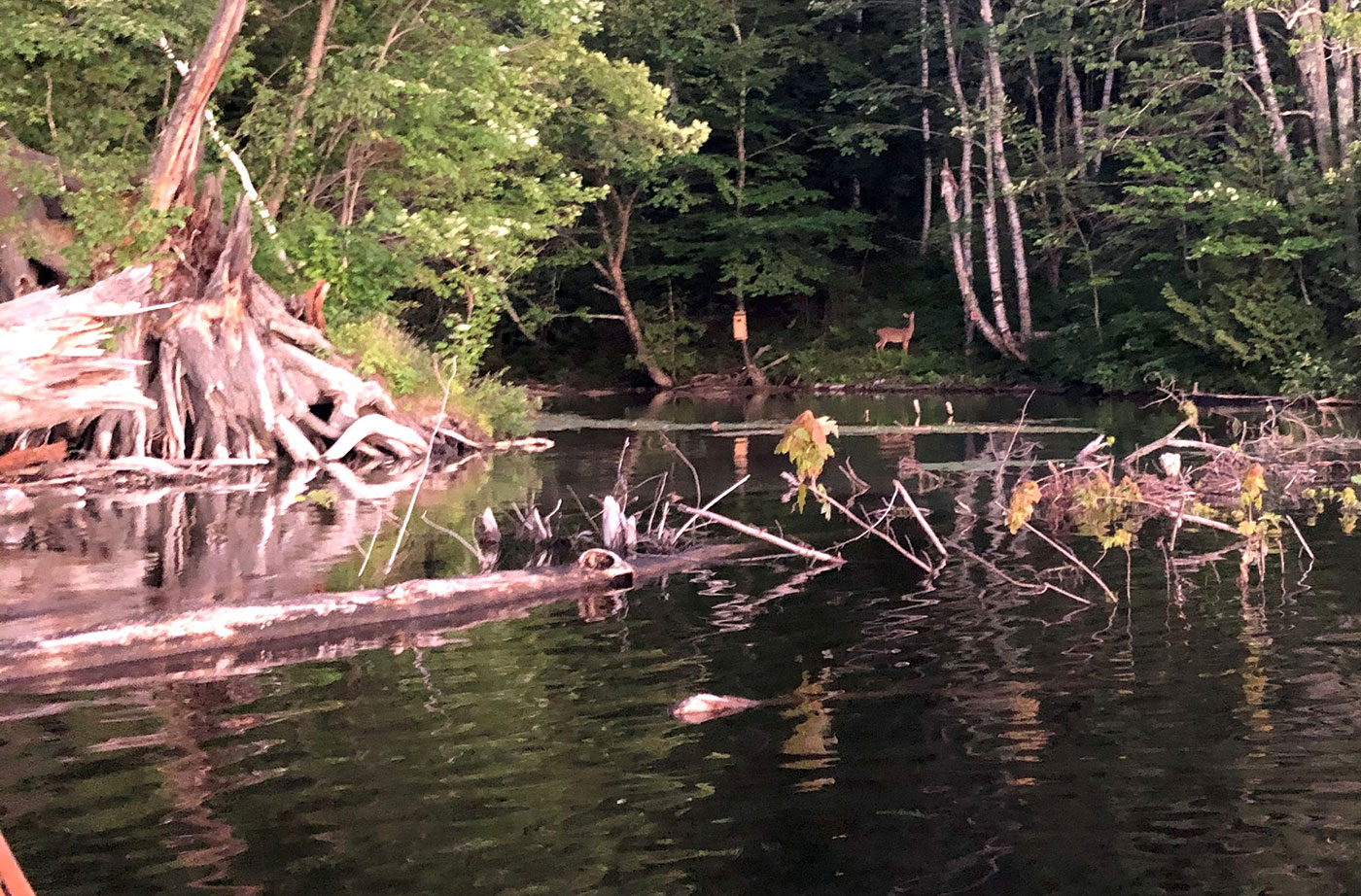 deer on Kennebec River bank