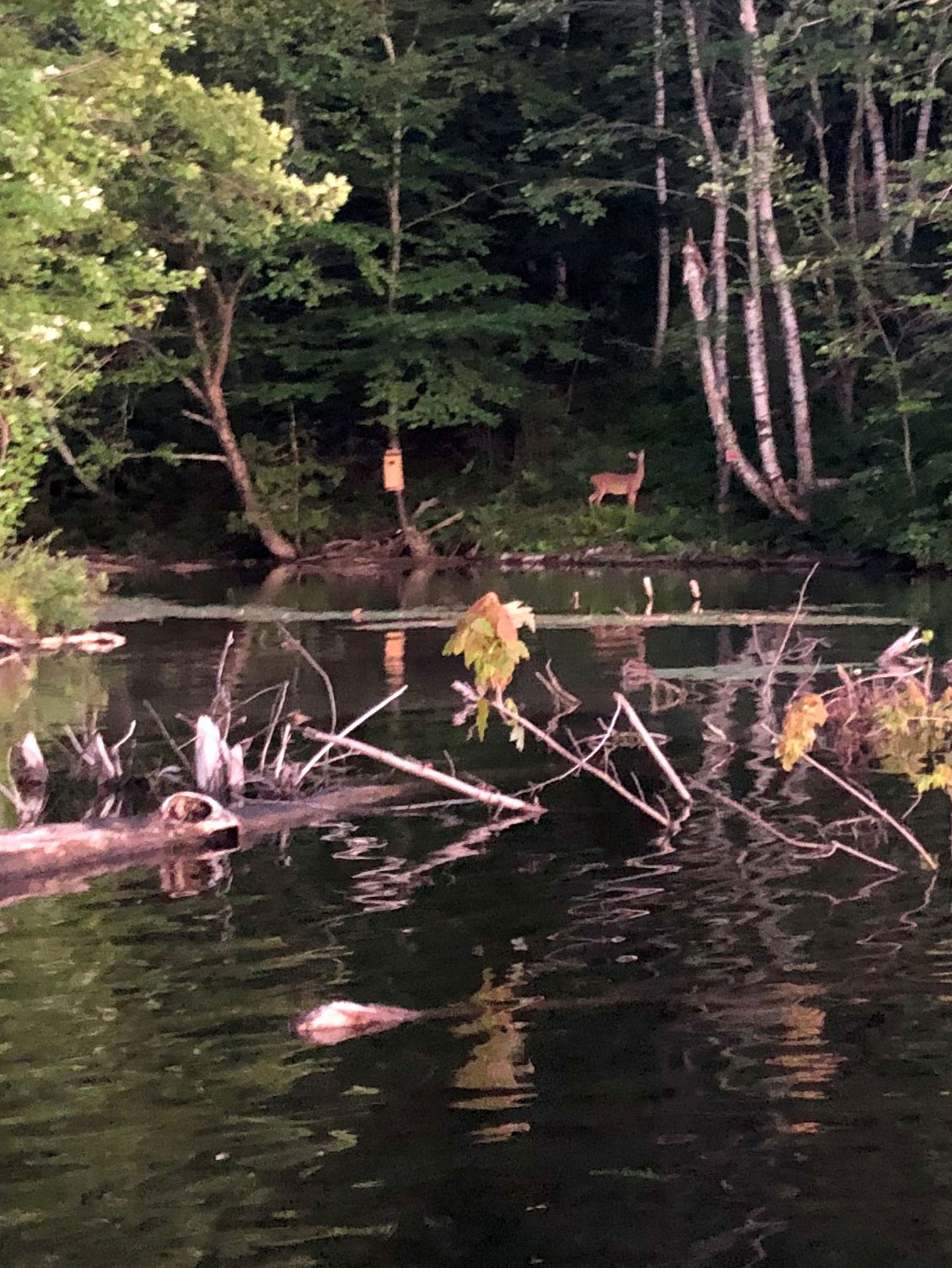 deer along riverbank
