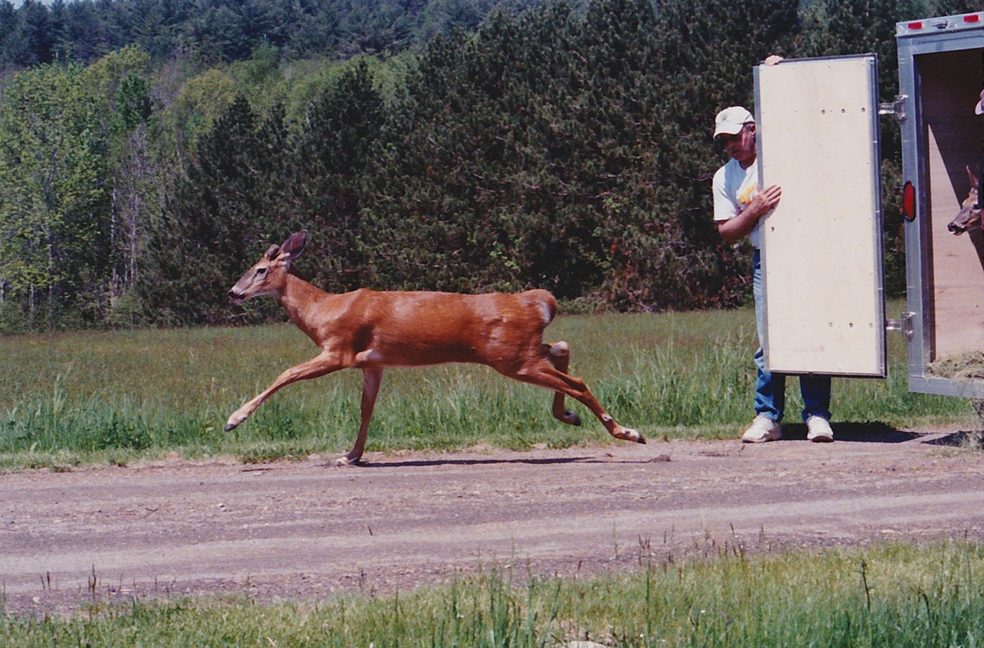 deer being released from wildlife center