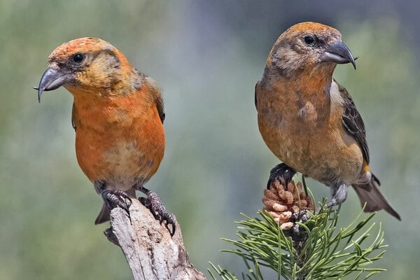 Two Red Crossbills