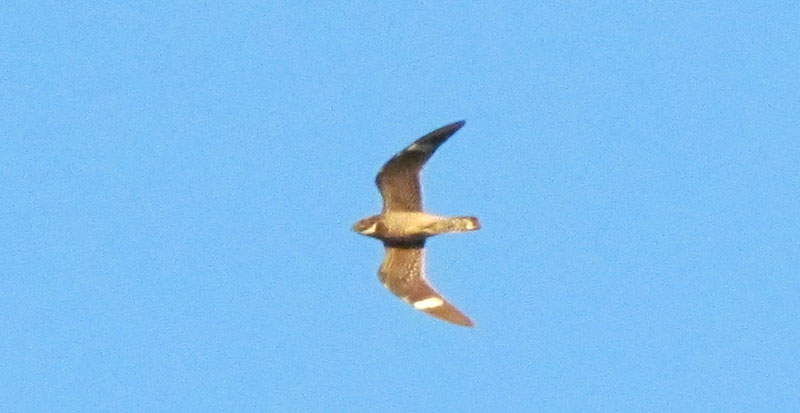 Common Nighthawk flying