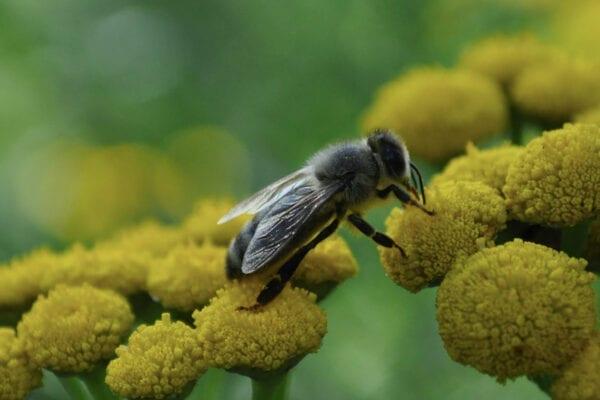 bee collecting pollen