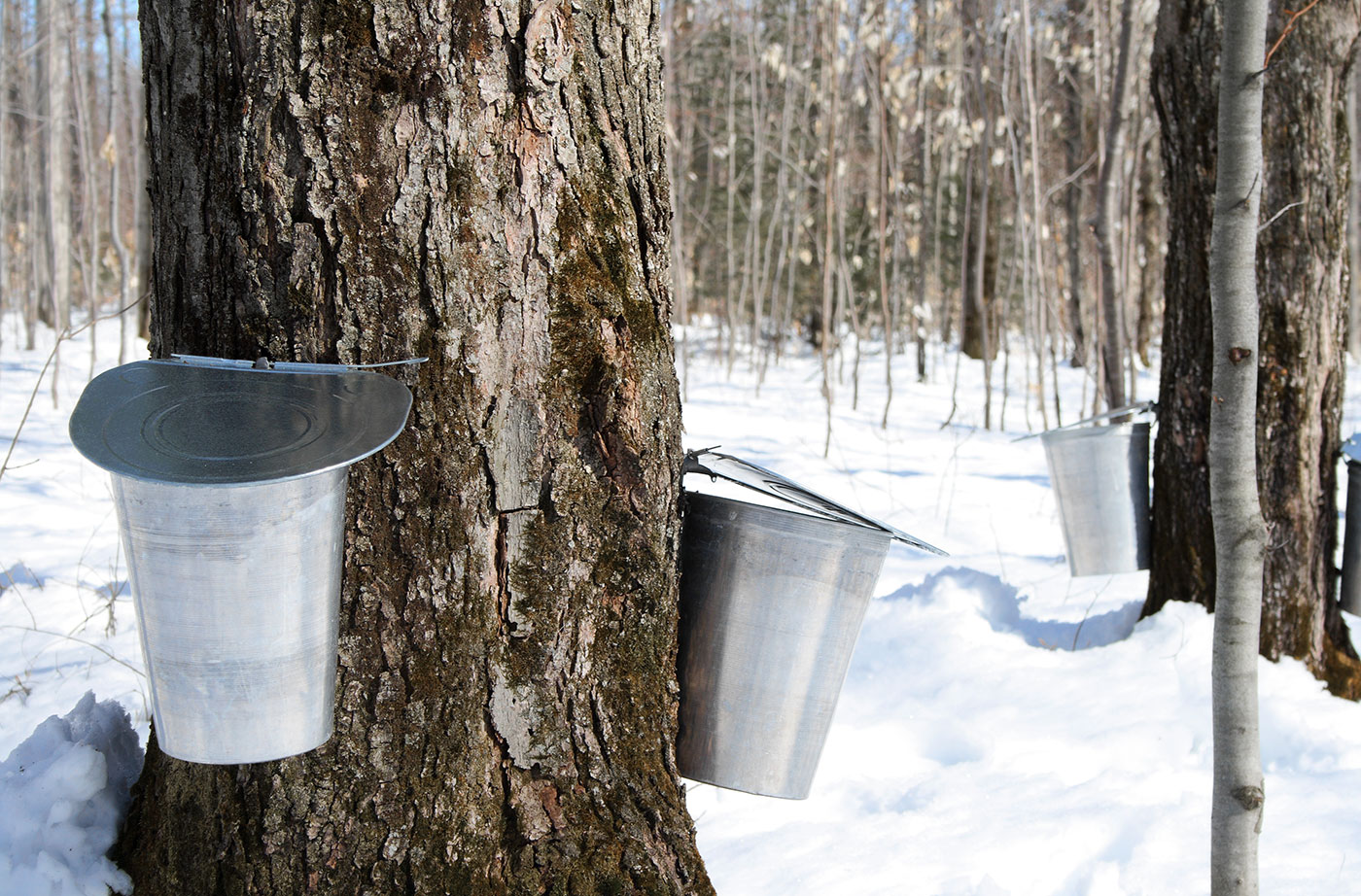 buckets for collecting maple sap from trees