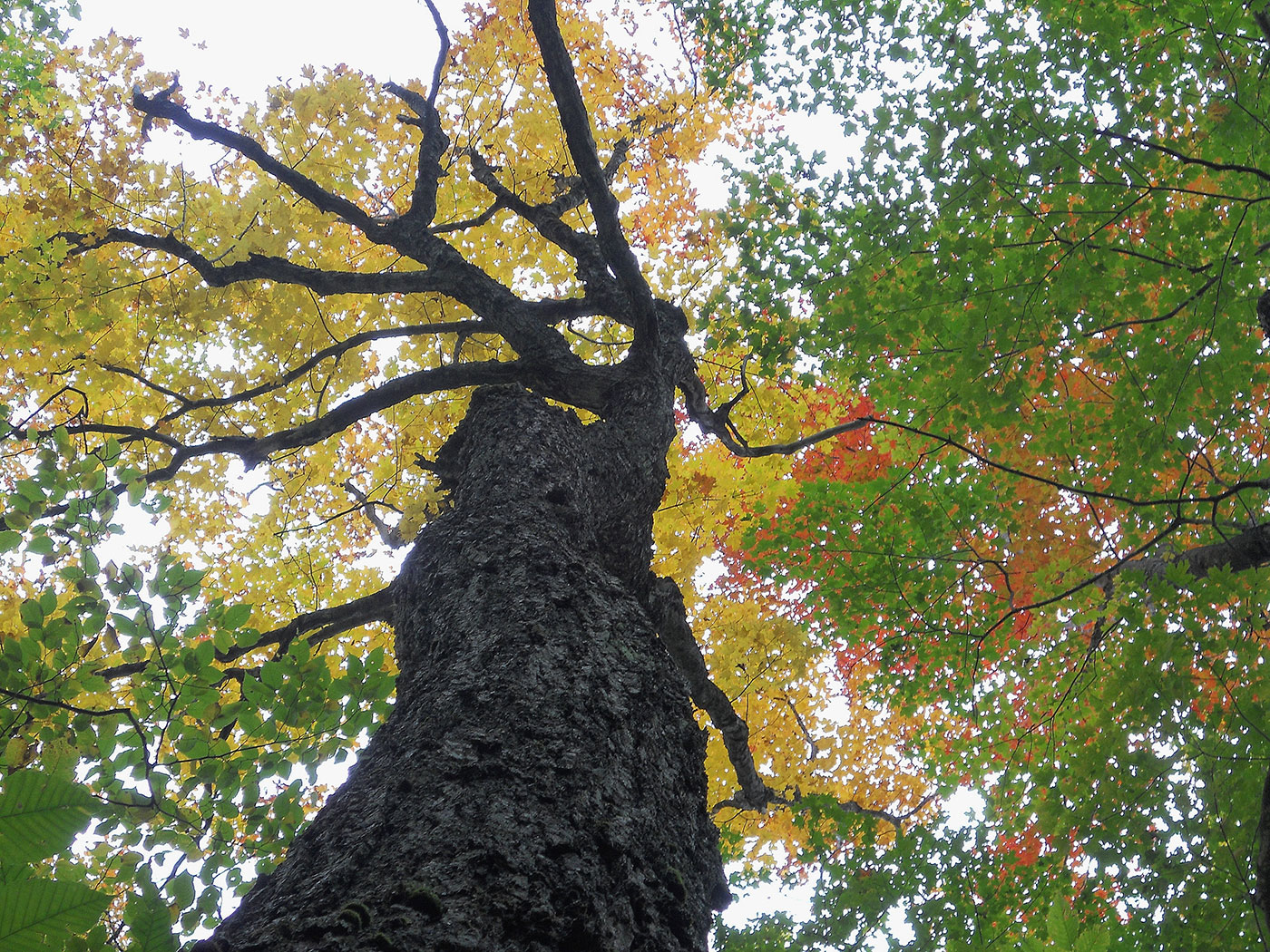 view looking up at maple tree