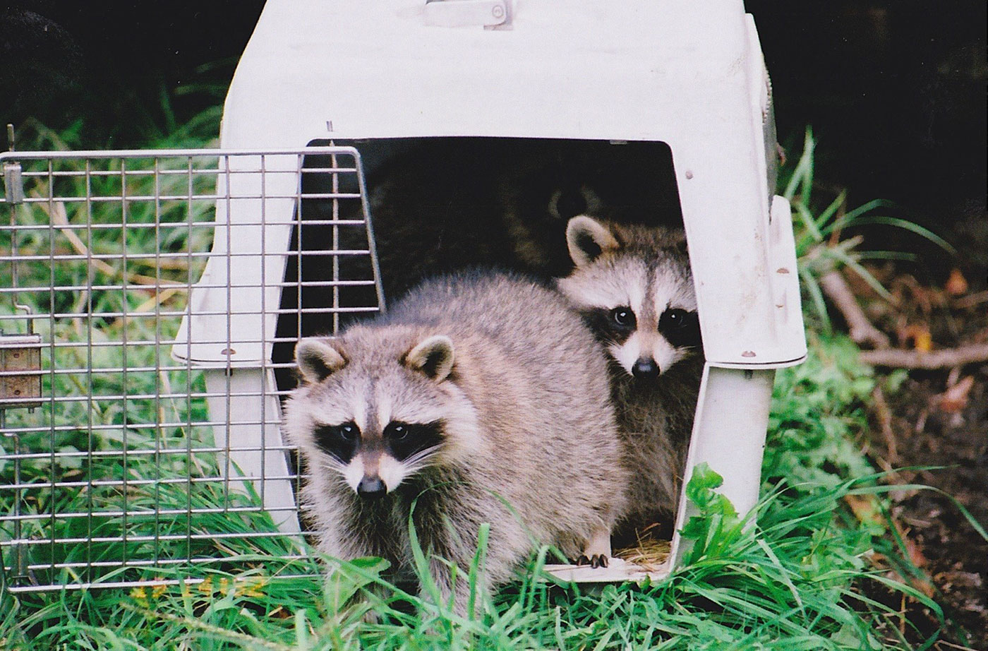 raccoons being released back into wild