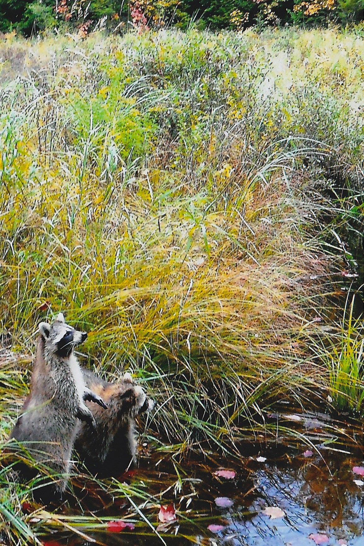 raccoons in field