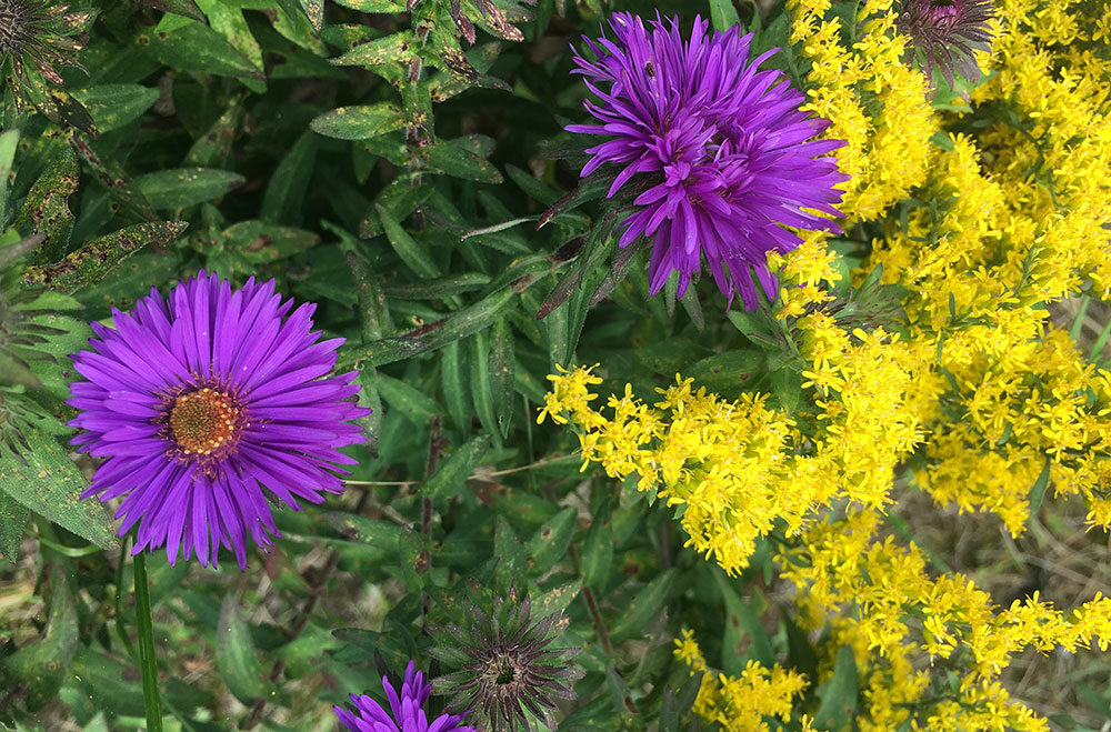 NE Aster and goldenrod