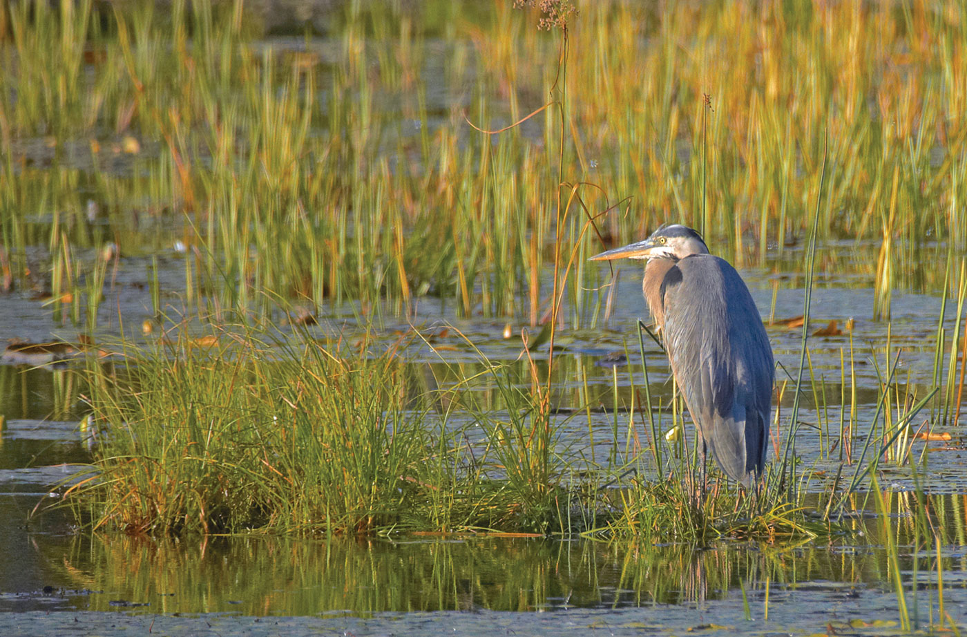Heron in Penobscot River marshlands