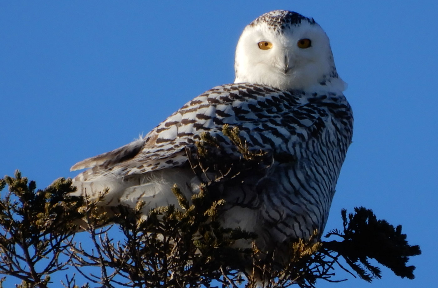 Snowy Owl in East Boothbay by Jon Luoma