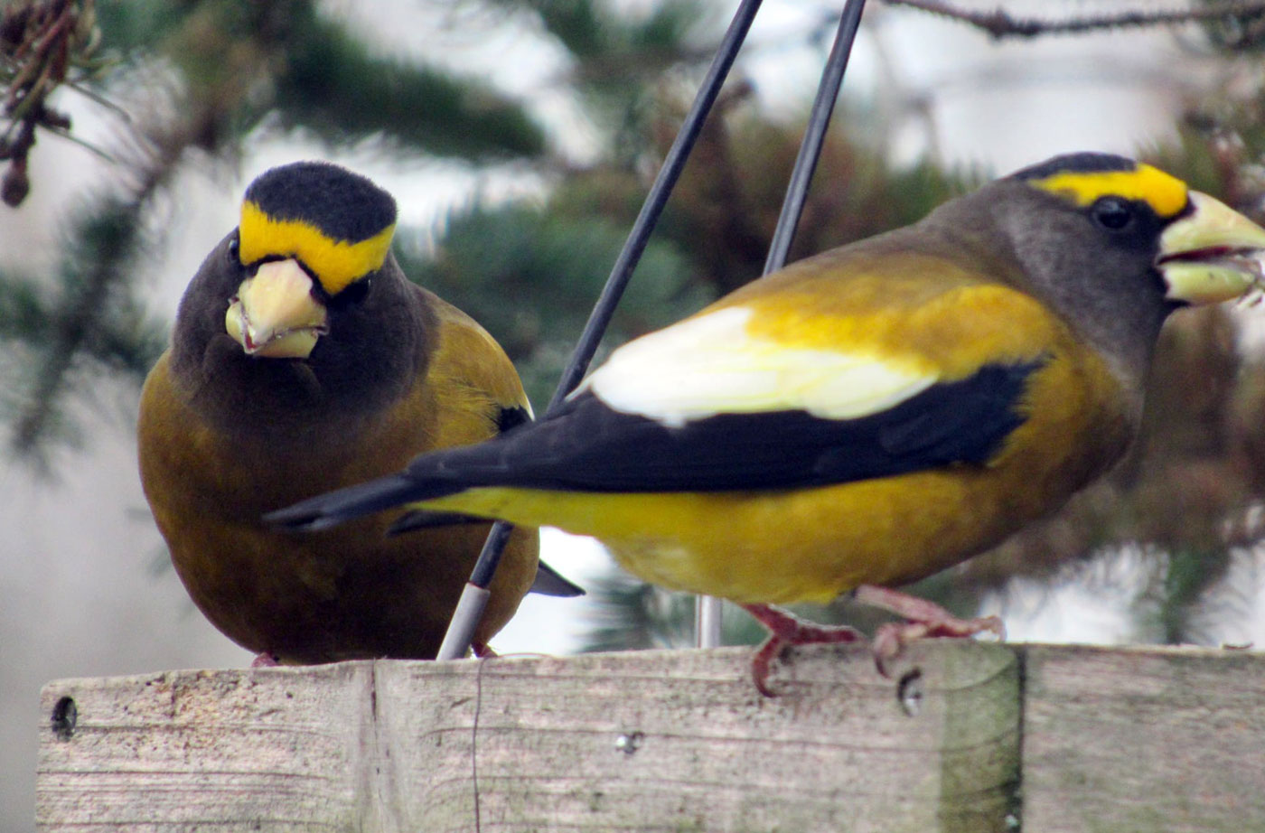 birds at platform feeder