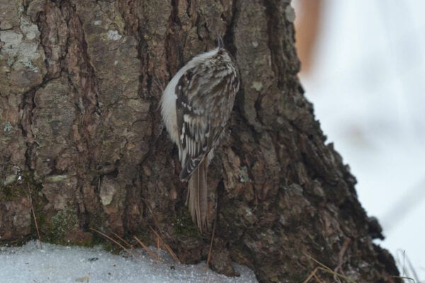 Brown Creeper by Callie Wronker