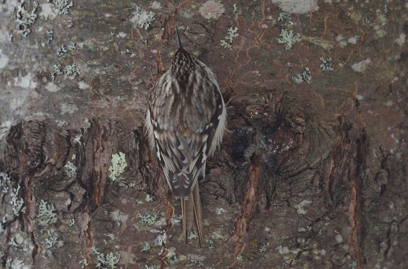 Brown Creeper by Callie Wronker