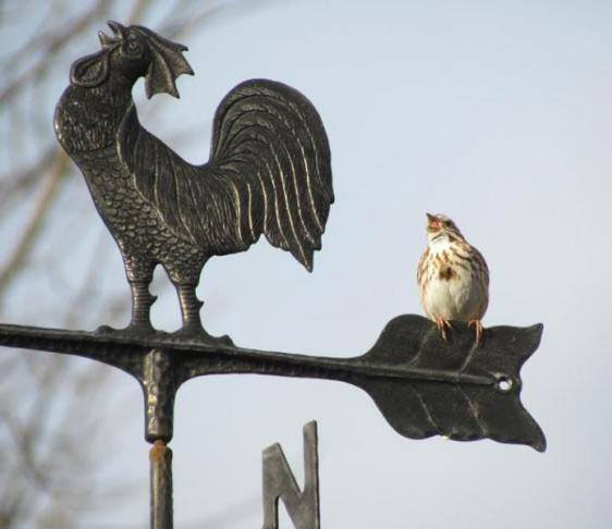 Song Sparrow on Weathervane