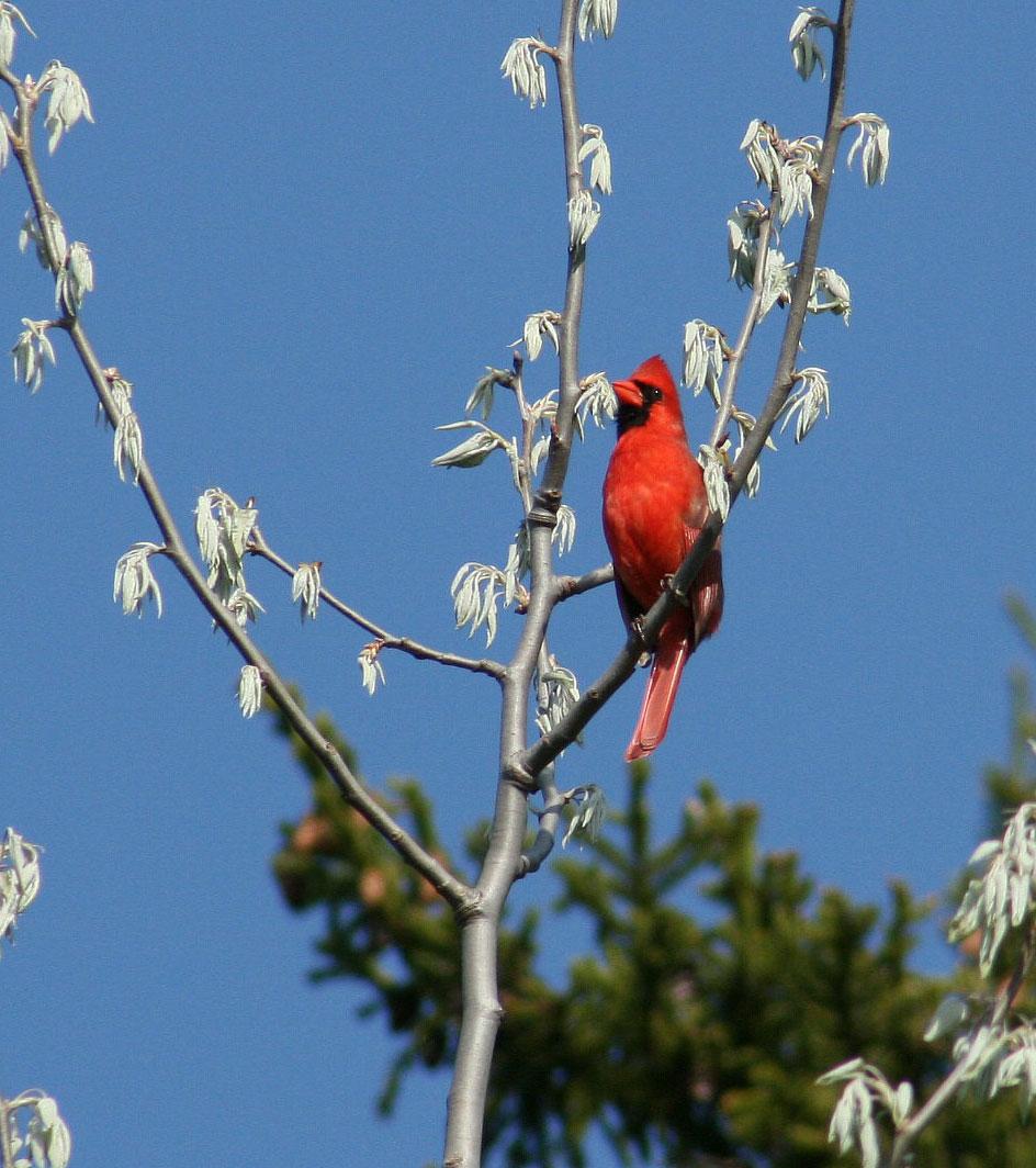 Northern Cardinal in tree