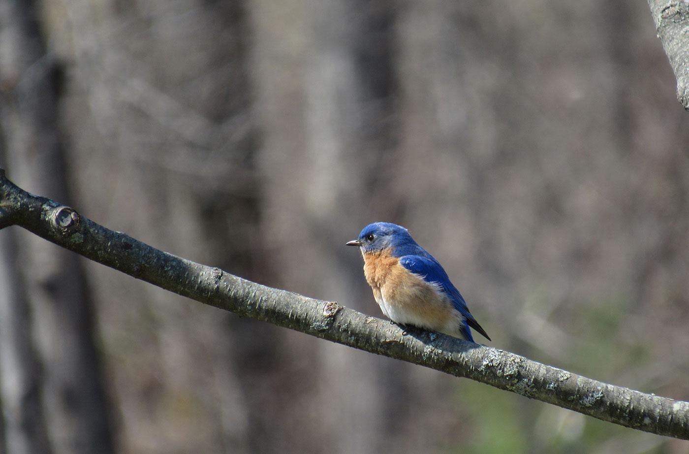 Eastern Bluebird by Kristen Lindquist
