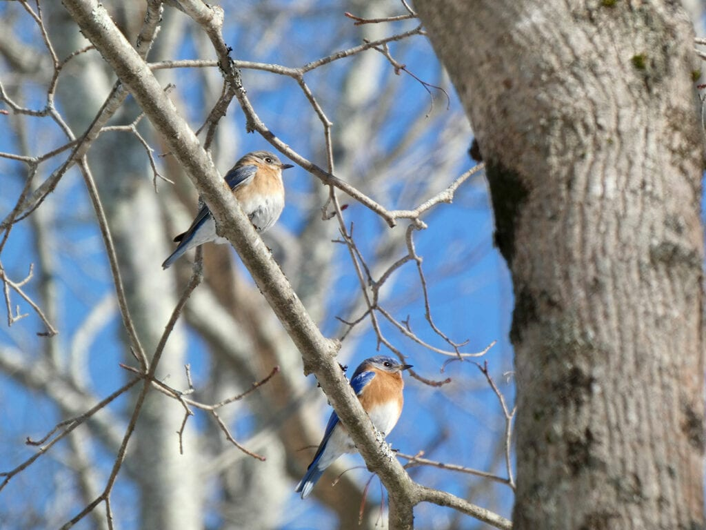 bluebirds in tree