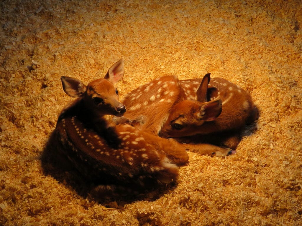 fawns under warming lamp