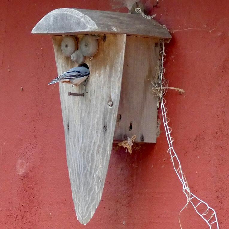 Nuthatch in birdhouse
