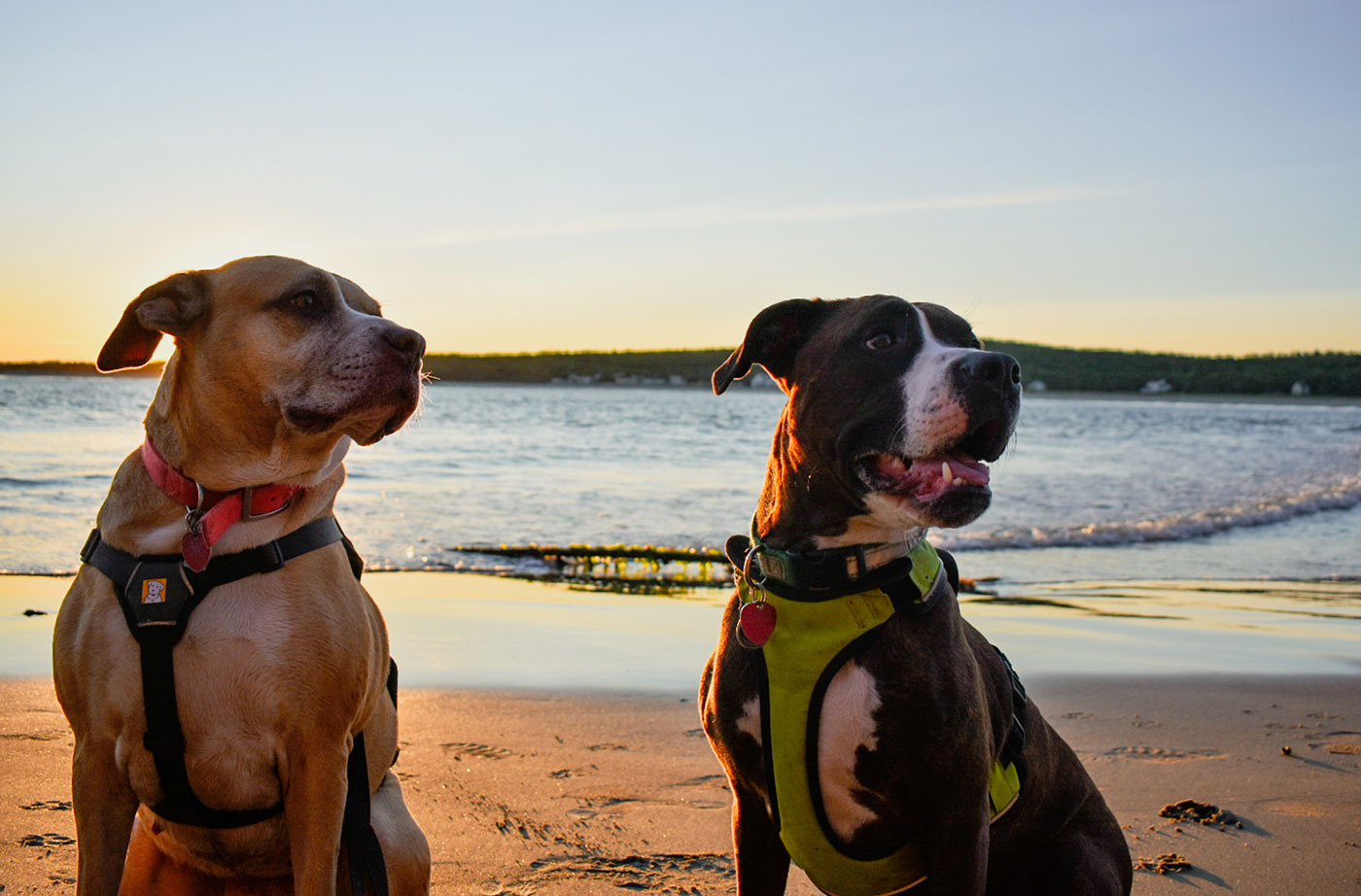 two dogs at Popham Beach