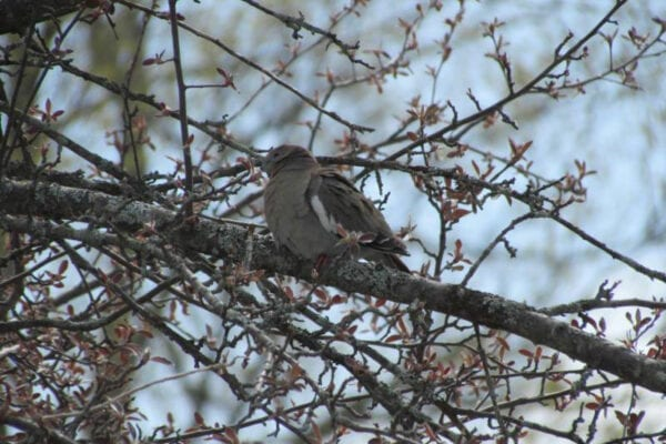 White-winged Dove in apple tree