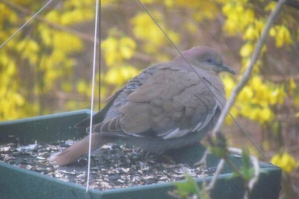 White-winged Dove at feeder