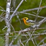 Blackburnian Warbler by Pam Wells