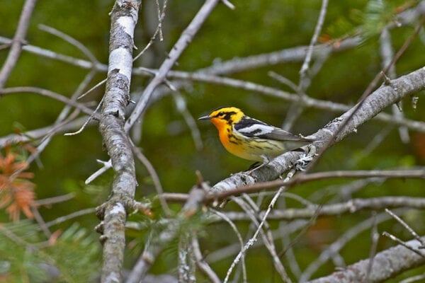 Blackburnian Warbler by Pam Wells