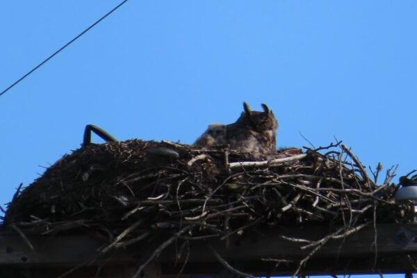 Great Horned Owl in