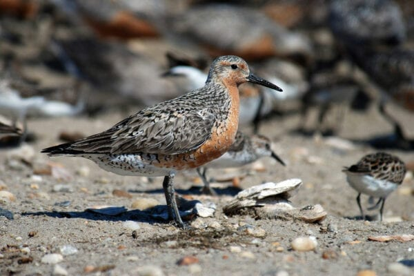 Red Knot Sandpiper