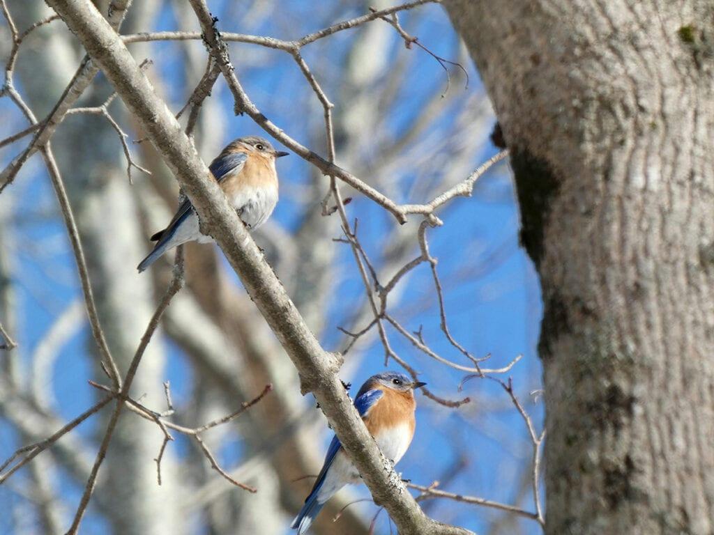 Eastern Bluebirds by Kristen Lindquist