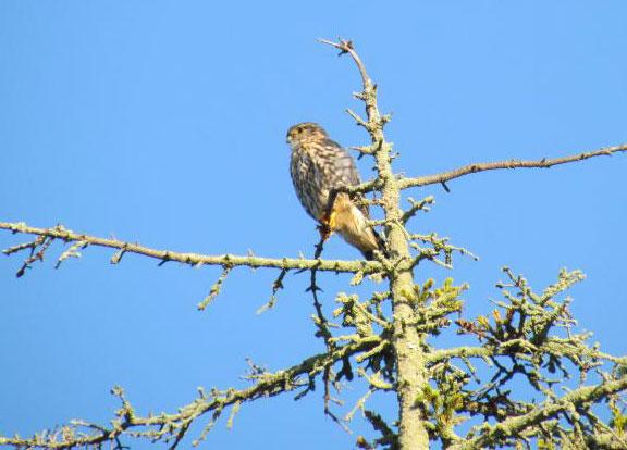 Merlin in a tree