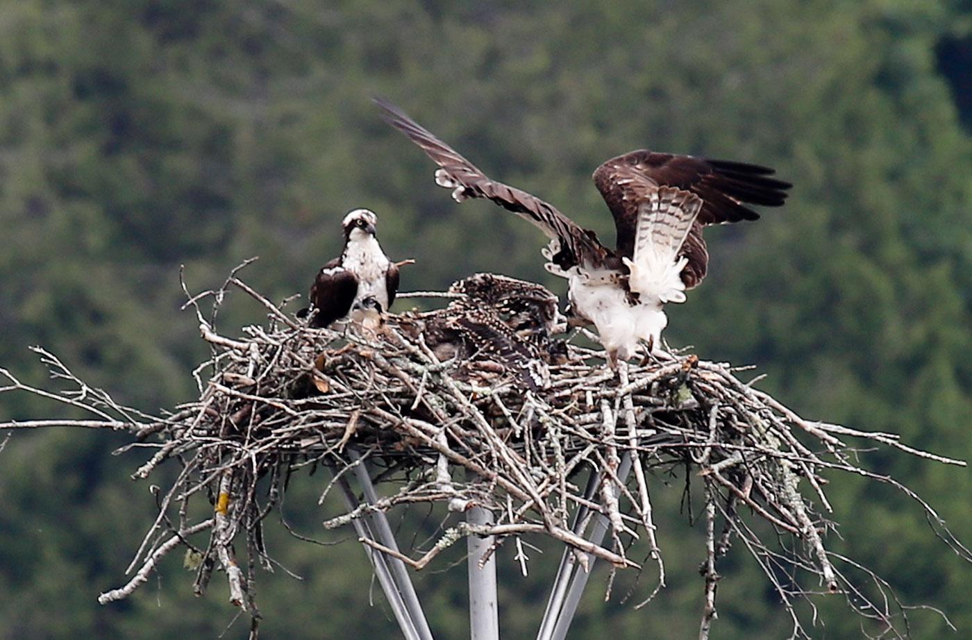 Ospreys in Rockport
