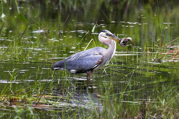 Great Blue Heron eating eel