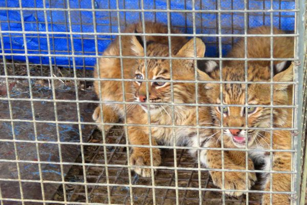 young bobcats in cage