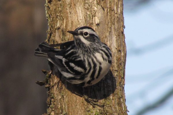 Black-and-white Warbler in Topsham