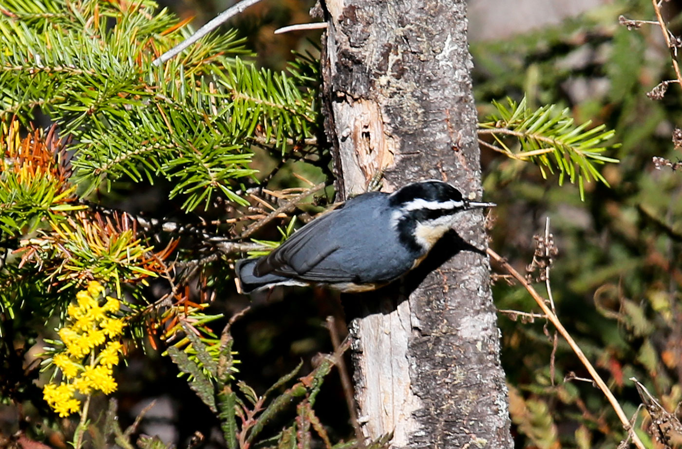 Red-breasted Nuthatch by David Small