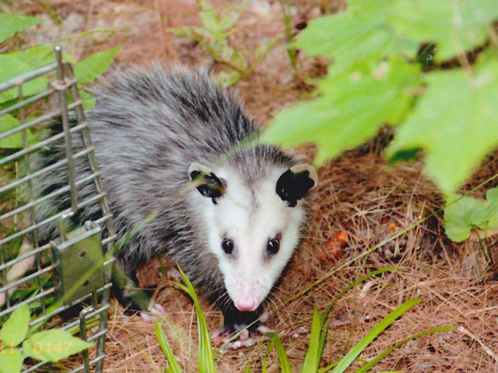 opossum coming out of cage