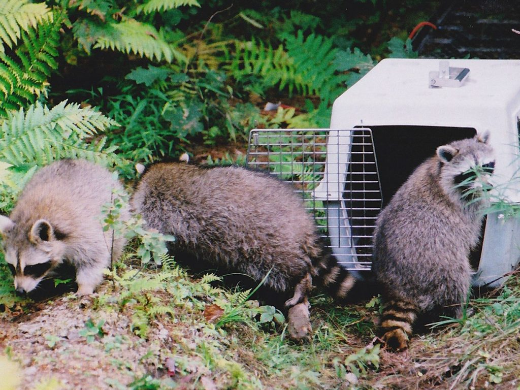 raccoons being released into wild