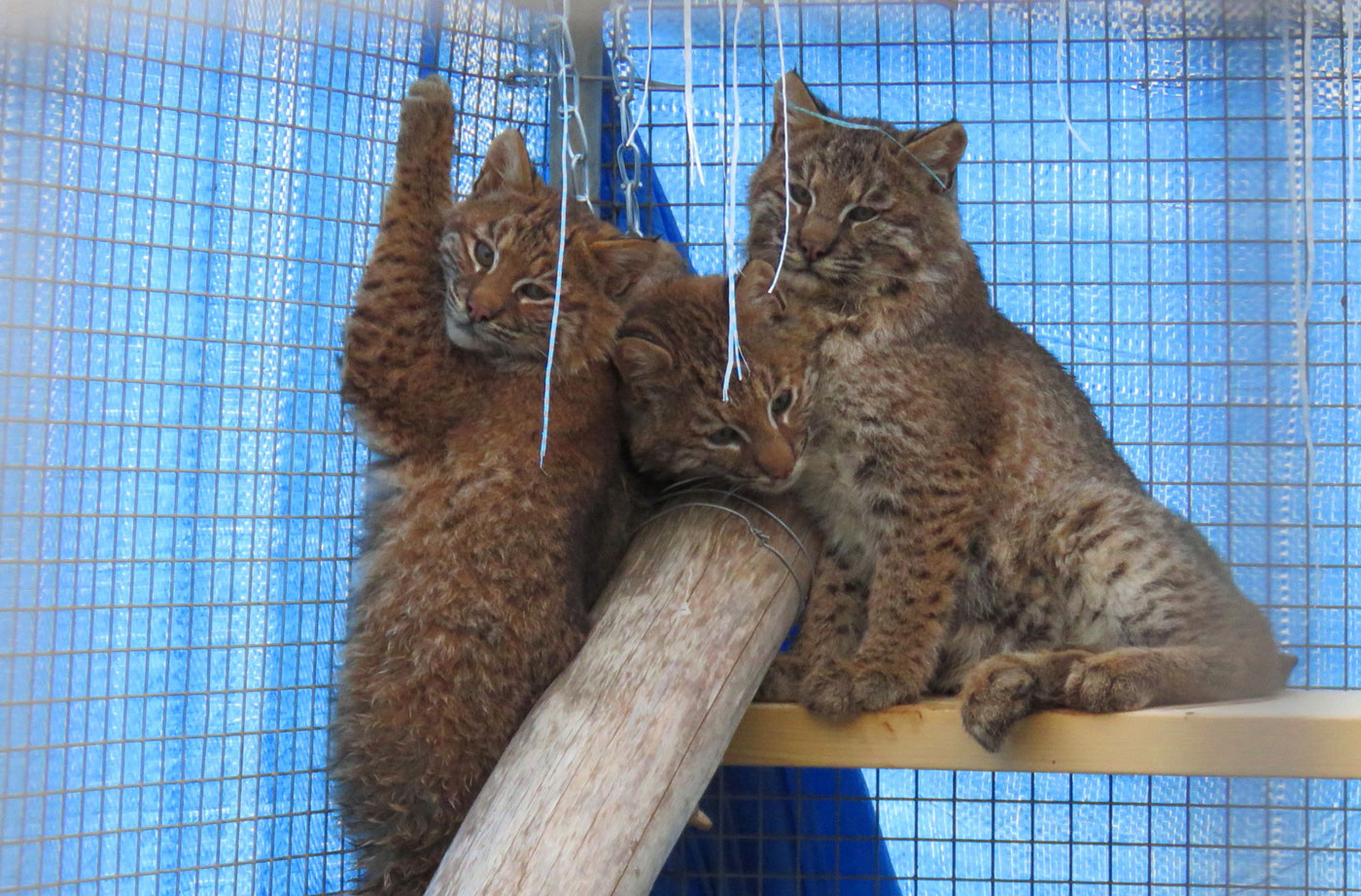 three young bobcats in cage